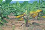 香蕉枯萎病