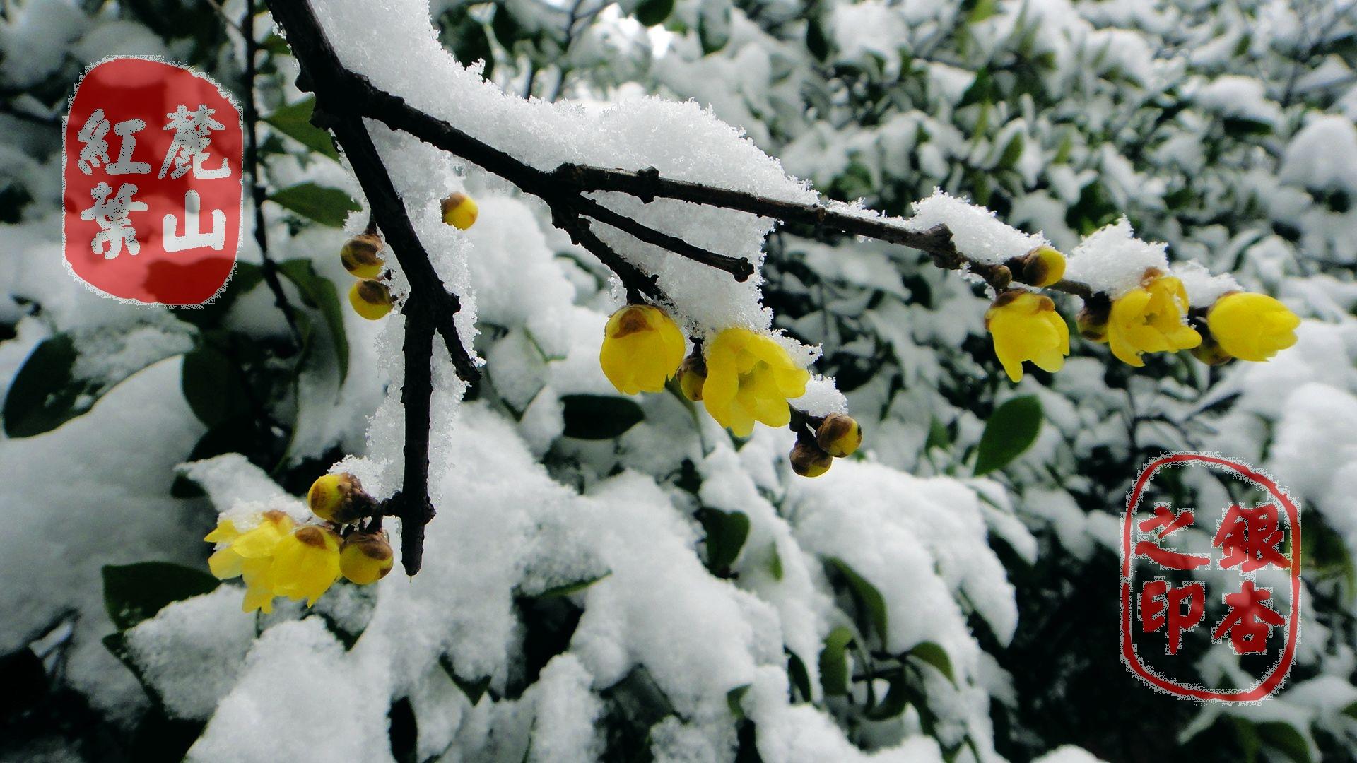 一连几天的大雪,整个世界一片银白,远远的就看见那褐色枝条上,满缀着素静怒放的花蕾。优雅均匀地衬托着枝干,显得格外地有生机。腊梅之花,由于花色嫩黄,宛如蜡制,故苏东坡曾有诗曰:蜜蜂采花为黄腊,黄腊为花亦此物黄庭坚也有诗云:闻君寺后野花发,香蜜染成宫样黄腊梅的名称便由此而来。 迎着凛冽的寒风昂首怒放枝头的腊梅花,抽蕊吐芳如此好强与坚强!黄如蜡的香花满枝头,在这千山鸟飞绝、百花难觅的隆冬时节,你的冰清玉洁却弄得满庭香,为寒冷的腊月增添了一股生气。腊梅变得更醒目了,袅袅婷婷地兀自站立着,被银白世界烘托成仙风