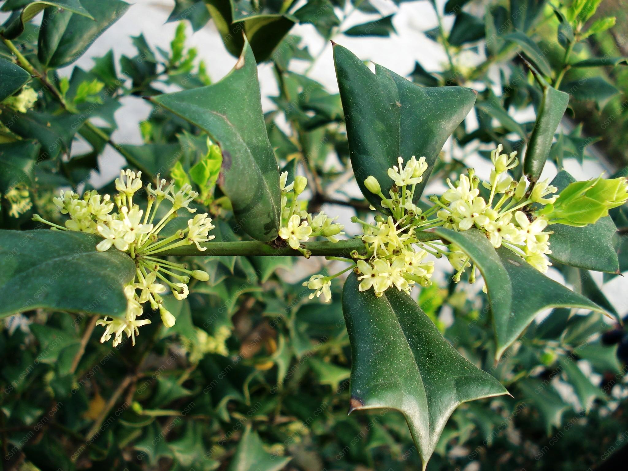 枸骨(Ilex cornuta )又名老虎刺、猫儿刺、鸟不宿。属于冬青科冬青属的常绿小乔木或灌木。其叶形特别,为四方状圆形而宽三角形,先端有硬针刺的齿,每边也具1至5硬针刺。花期4至5月,果期9月。该植物株形紧凑,叶形奇特,碧绿光亮,四季常青,果实成熟后大红色,鲜艳夺目, 经冬不凋,艳丽可爱,在树上可挂半年之久。在圣诞节、元旦、春节期间满树红果,喜庆吉祥。 欧洲人把枸骨当圣诞树。基督教徒在过圣诞节时,常在枸骨树上缀满礼品、彩带、风铃,有的还用枸骨枝叶扎成彩门,红果绿叶,金铃少许,极富节日气氛。是优良的观叶