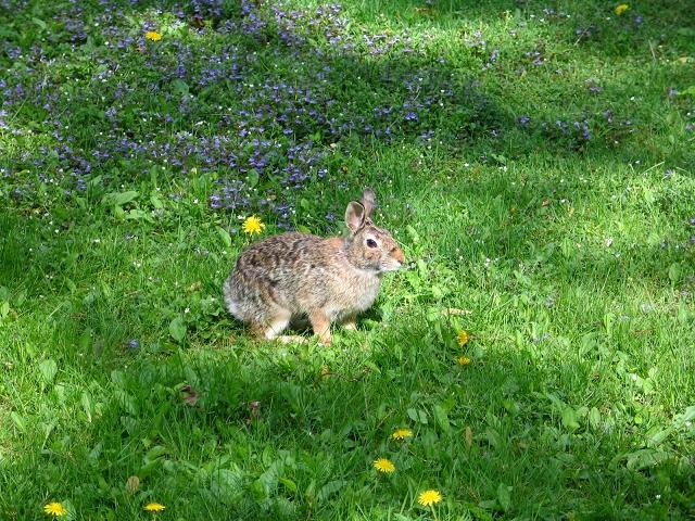 从后门走出去,常会碰到一只野兔,灰黄夹杂的毛蓬松,样子很可爱.