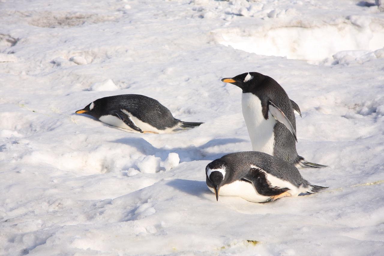 壁纸 动物 鸟 鸟类 企鹅