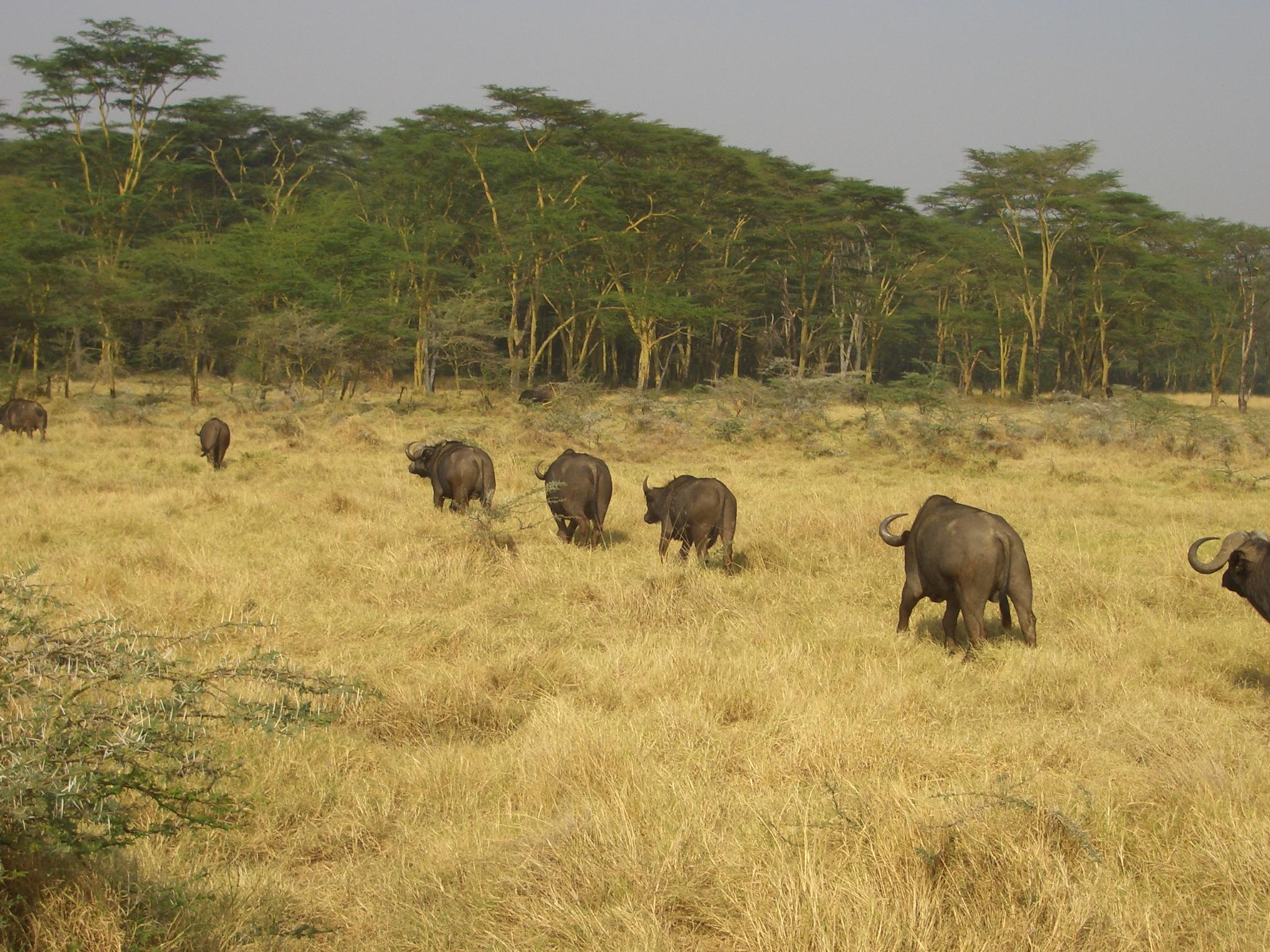 非洲水牛在草地上安静地徜徉;盐水湖
