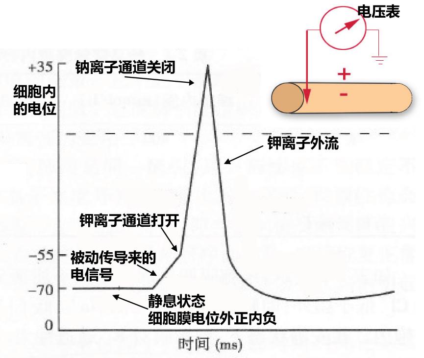 从钠通道开放到钾离子让细胞膜电位回归静息的整个