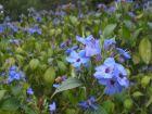 春天里的蓝精灵-可爱花