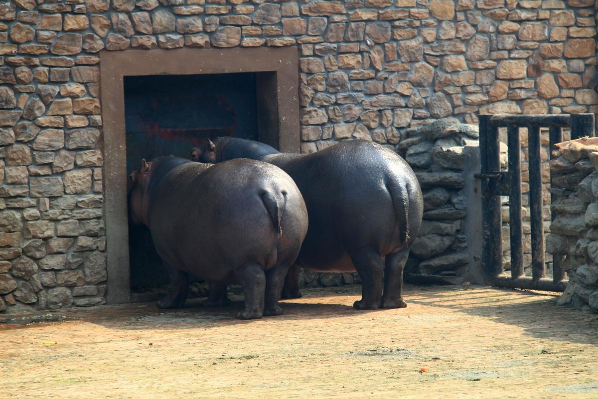 河马在动物园不算稀罕动物,过去在老长沙动物园似乎也看到过,在阴暗的