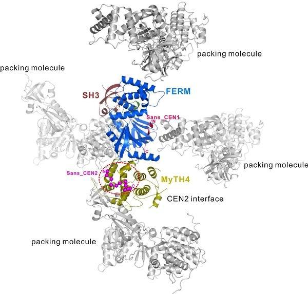 张明杰教授及他的研究团队,利用在上海光源生物大分子晶体学线站BL17U采集的晶体X光衍射数据,成功解析了肌动蛋白7a与Sans(另外一种可导致Usher综合症的蛋白质,其功能主要是充当桥连蛋白,将肌动蛋白7a的运输物体与其链接在一起)蛋白质复合物2.8埃分辨晶体结构。结合核磁共振技术得到的结果,解释了肌动蛋白7a在不同细胞中是如何进行运输,也解释了其在内耳细胞中是如何维持耳毛细胞结构的。