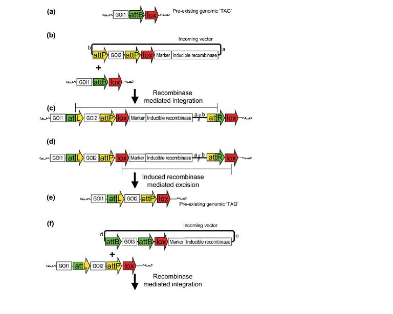 重组酶技术在植物基因工程中的
