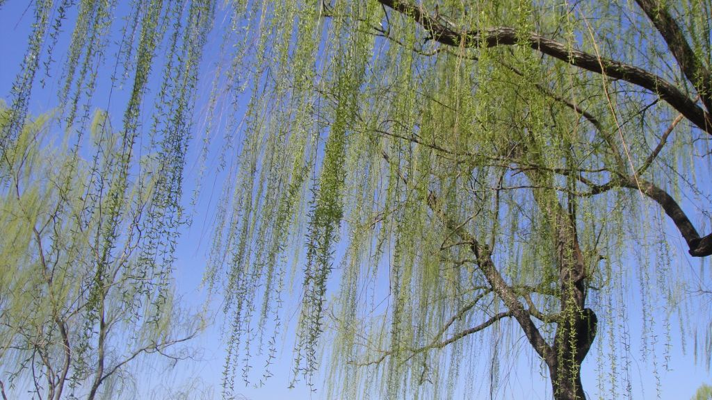 搜索春天燕子垂柳的图片