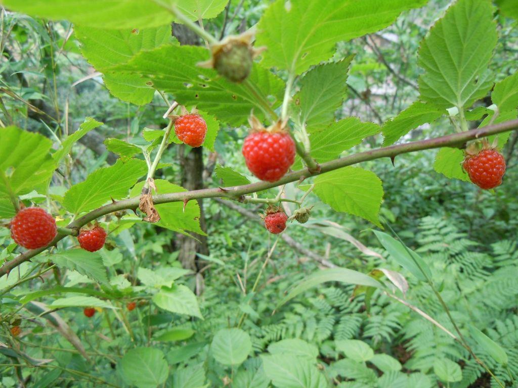 那一天歌词歌谱 降央卓玛-山莓Rubus corchorifolius Linn. f.,又名三月泡、四月泡、山抛子、刺葫