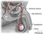 从尿道流出的并非只有尿液和精液