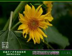 图说向日葵拍摄技巧:朵朵葵花向太阳