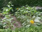 公共绿地变个人花园和菜地