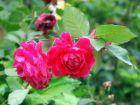 六月花开(1):蔷薇