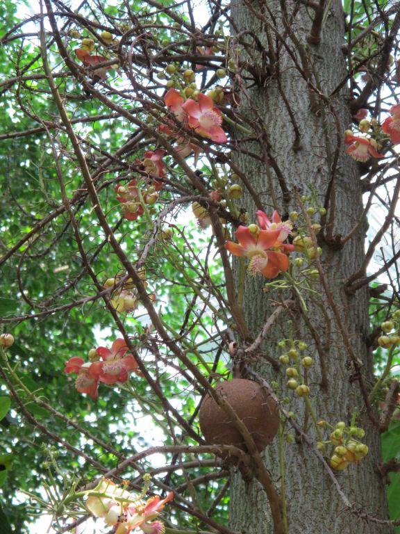 为玉蕊科落叶大乔木,原产于南美洲圭亚那图片