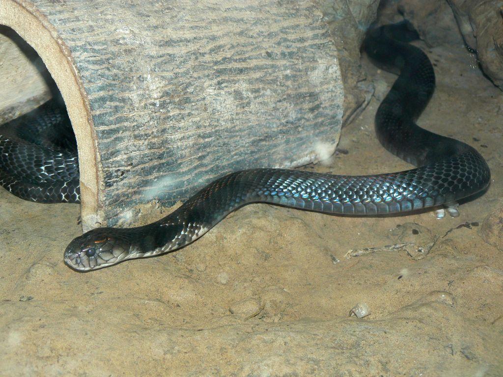 吐芯的蛇:摄于北京动物园