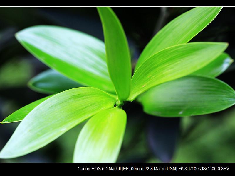 叶子类似竹叶,但肯定不是竹子, 果子貌似罗汉,却非罗汉果.
