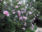 七月花开(3):木槿花