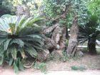 结实的铁树