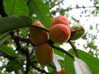 秋日思语:美丽枕果榕的美丽容颜