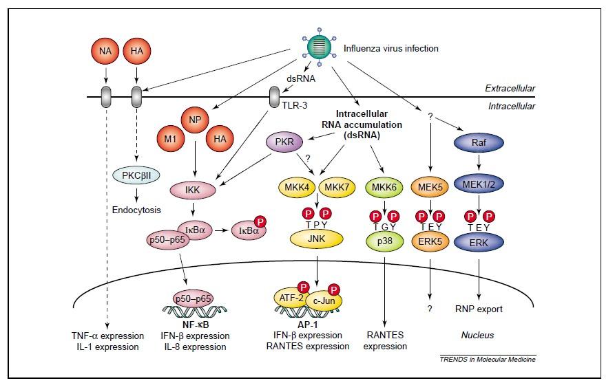 病毒感染宿主后,会在细胞里产生核酸片段或蛋白质