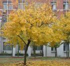 校园秋色(8):红叶为什么这样红 (配图)?