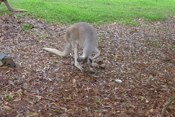 考拉最害怕的动物是澳大利亚狗和猫头鹰