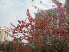 西湖公园看桃花
