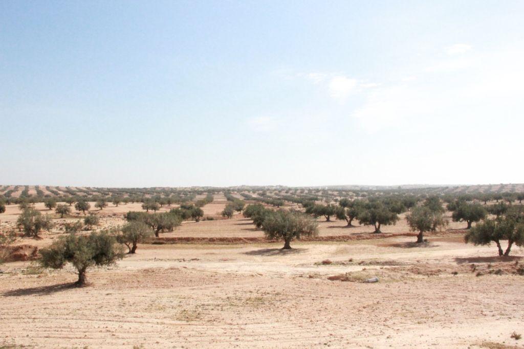科学网—梦幻中的阳光和橄榄树