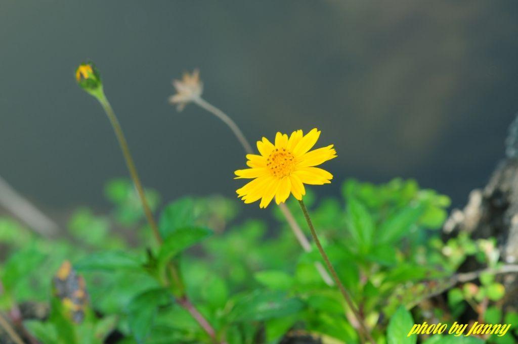 黑褐色老虎须 生命世界,由于姹紫嫣红开遍而显得格外生动,然而,花儿的万般色彩库中又何止姹紫或嫣红呢? 油菜花开满地金,鹁鸪声里又春深,百合花学染淡黄萱草色,几枝带露立风斜,迎春花金英翠萼带春寒,黄色花中有几般!盛夏,在那接天莲叶无穷碧的衬托下,映日荷花别样红;更为奇妙的是芙蓉花清晨初开时为白色或粉红色,后逐渐变为深红,傍晚时却变为紫红色,自古便有晓妆如玉暮如霞之美誉。另据南宋《种艺必用》一书记载:古代邛州还有一种弄色木芙蓉,一日白,二日鹅黄,三日浅红,四日深红,至落