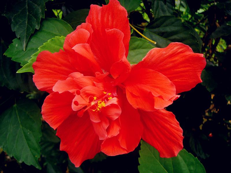 大红花是我们对扶桑花(也称朱槿)的俗称。扶桑原产我国,栽培历史悠久。(http://baike.baidu.com/view/43281.htm;http://baike.baidu.com/view/191224.htm)对于当前园林应用上的百花争艳,它好像只能作为一个普通的配角,在我国南方一年四季默默地开着,而到了春光明媚时节也热热闹闹地盛放;可是因为太普通了,可能不会十分引人关注。