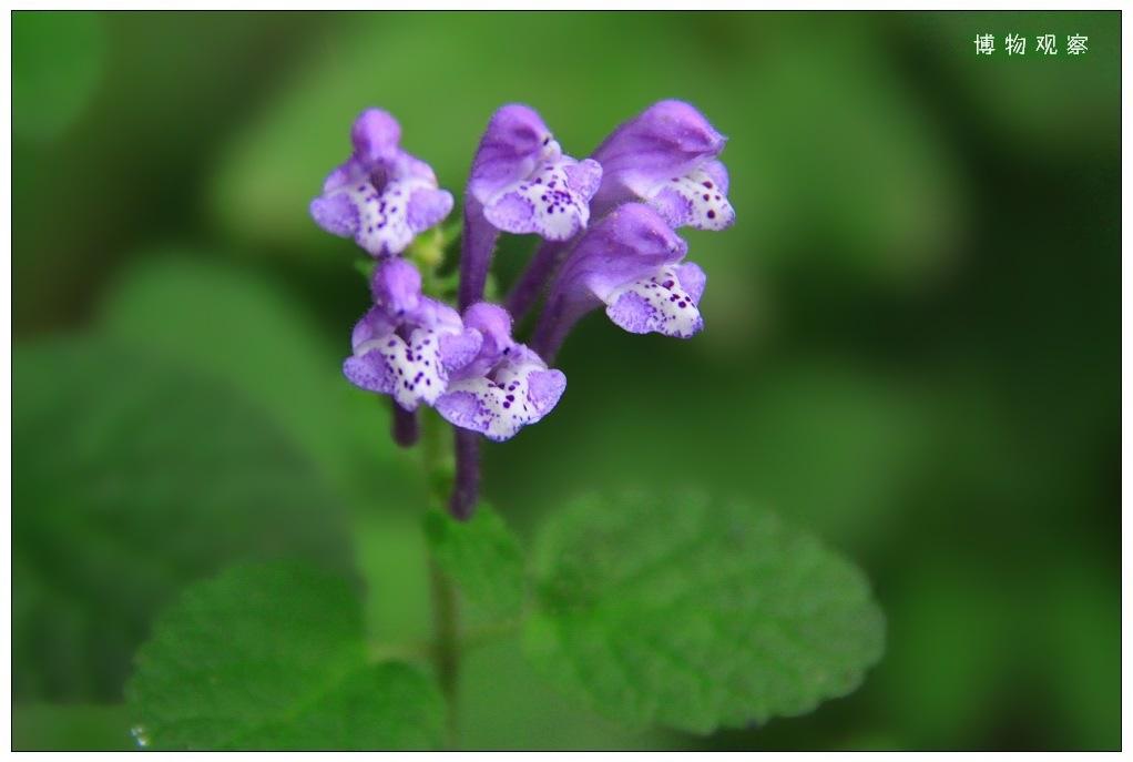 韩信草/韩信草别名很多,其中也有叫半枝莲的。不过半枝莲的叶子应该是...