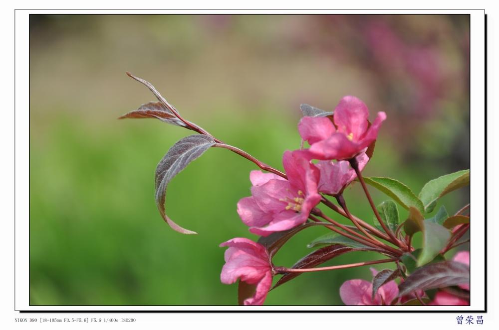 小枝暗紫.新叶红色.花深粉色