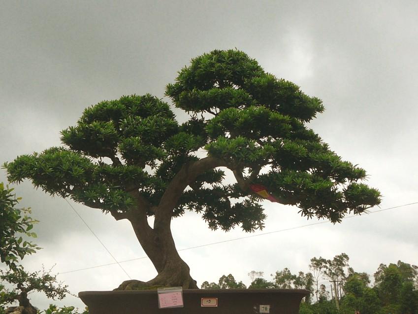 盆景是一种模仿自然山水和树木的自然形态,用缩龙成寸的技艺手法创造的艺术品。其中树桩盆景以大自然树木的或壮美、雄浑,或挺拔、高耸,或孤挺,或群生,各种有生命的形态,给人自然美和艺术美的享受。而岭南派创造的截干蓄枝为主的制作法,先对树桩截顶,以促枝叶生长,又经反复修剪,而形成干老枝繁的特色,体现出大树或挺拔自然或飘逸豪放的风格。
