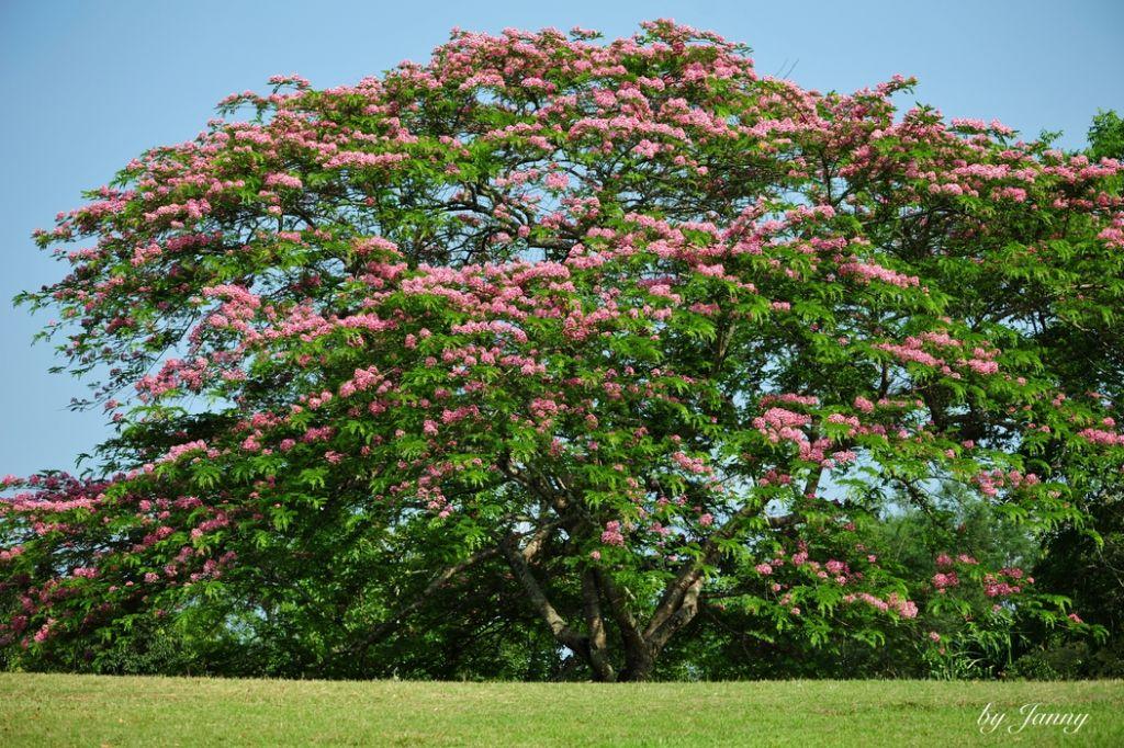 每当看到这棵开花的树,自然就想起了席慕容的那首诗,也不禁感叹:又是