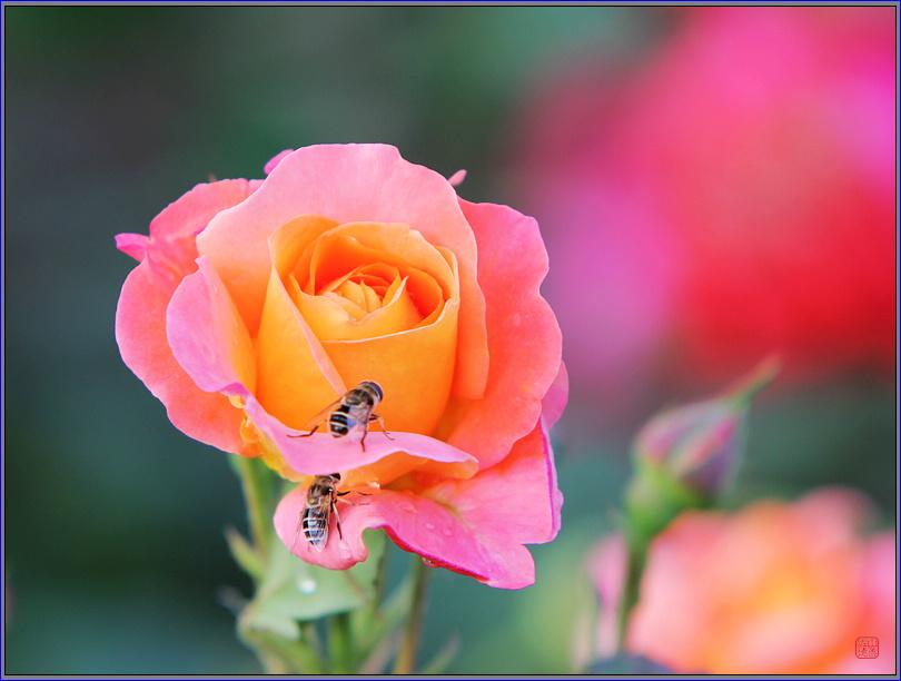 科学网—拍花拍出小动物--蜜蜂和小花猫