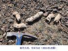 新疆野外施救黄羊伤崽未果