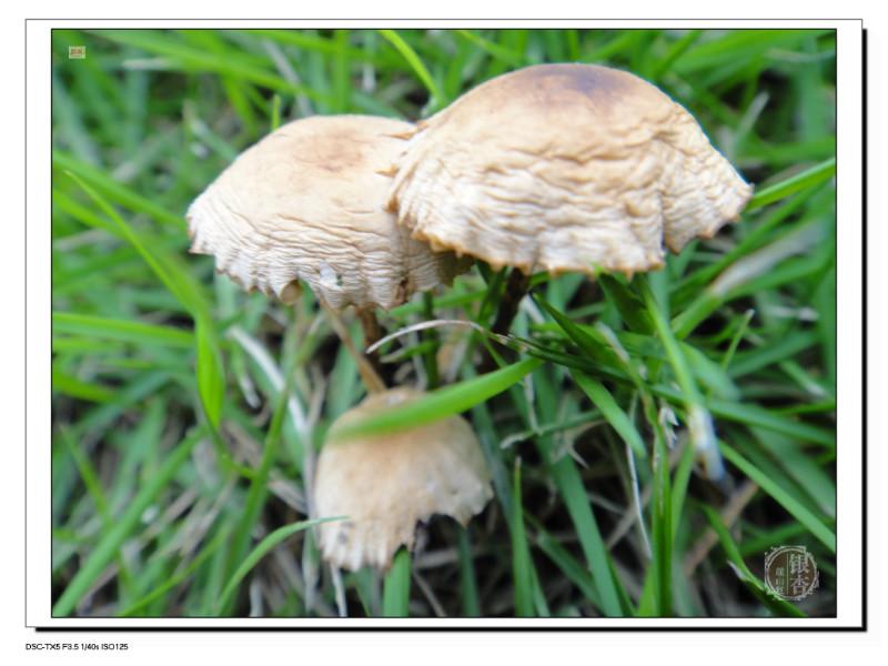 刚刚露出泥土的小蘑菇头