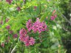 长岛的紫花槐