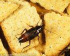 【科普】我们需要主动保护蟑螂吗?