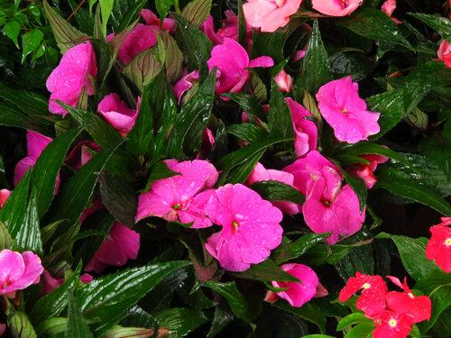 粉色凤仙花园艺品种