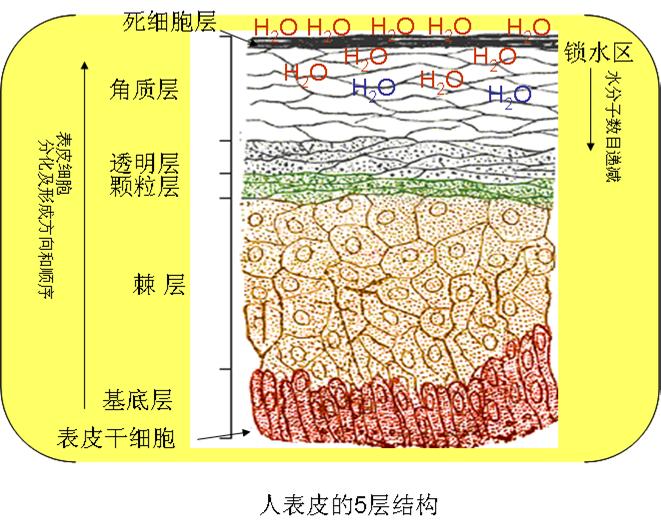 皮肤的结构,皮肤结构图,皮肤组织结构图_点力图库