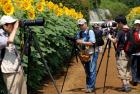 高温茁壮向日葵(日本 摄影 东京博士 2012年7月27日气温34度)