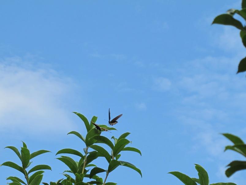 然后又飞到了一棵银杏树上