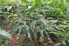 皱叶山姜:历时22年发表的姜科植物新种