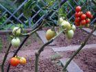 西红柿变异例(小茶壶状)