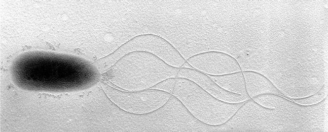 单鞭毛手绘图