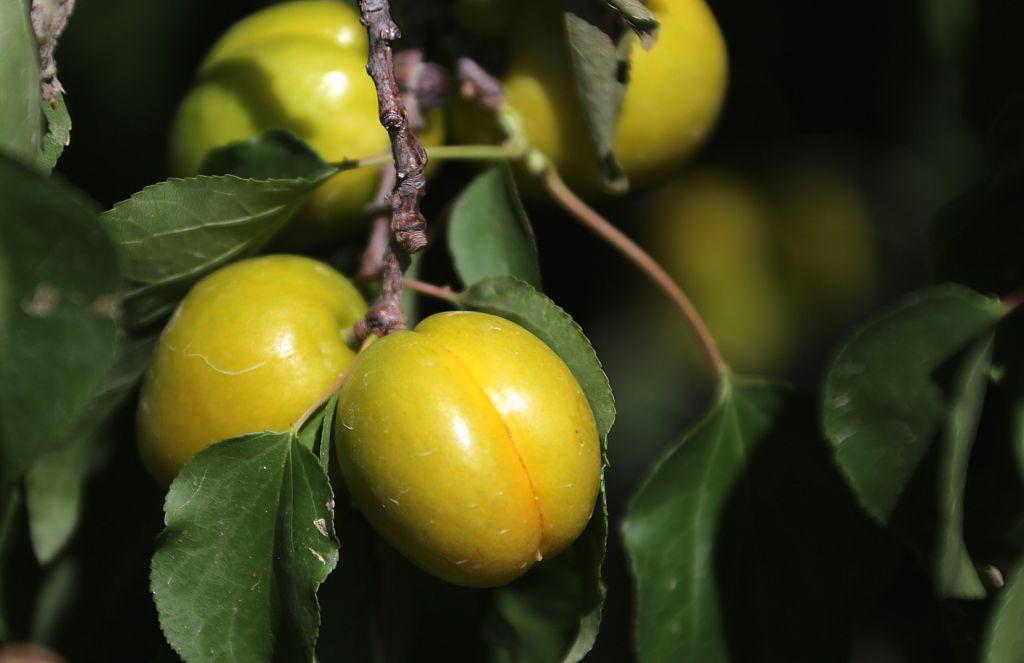 葡萄还没有熟 - 探矿者           - Prospector blog