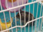中秋节之实验室仓鼠