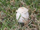 """[请教 照片] 这是什么菌类?很像毒蘑菇""""毛头鬼伞"""""""