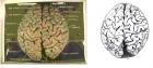 [转载]研究描绘爱因斯坦整个大脑皮层